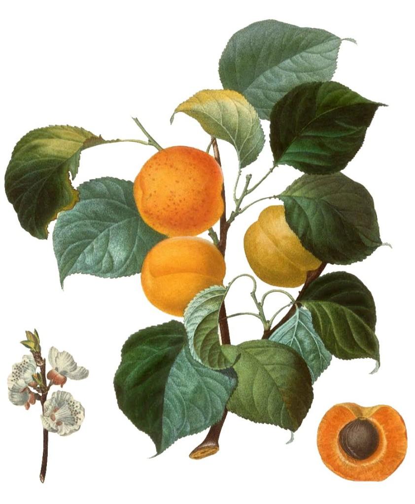 Жердель или абрикос обыкновенный (лат. Prúnus armeniáca)